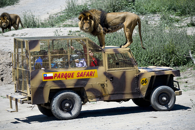 Di Kebun Binatang Ini Kamu Bisa Colal-colek Singa Secara Langsung, Berani Coba?