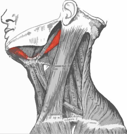 imagen que resalta el músculo digástrico