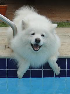 cara melatih anjing samoyed