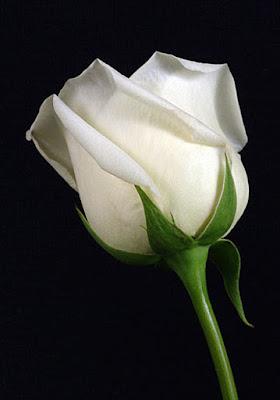 white rose wallpaper for free