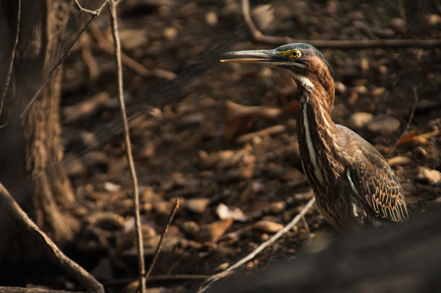 Green Heron, LLELA