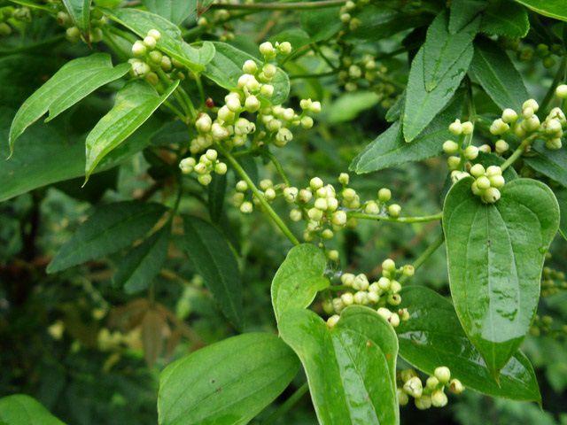 Hoa cây Tỳ Giải - Dioscorea tokoro - Nguyên liệu làm thuốc Chữa Tê Thấp và Đau Nhức