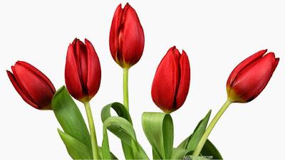 http://tipspetani.blogspot.com/2016/11/peluang-bisnis-budidaya-bunga-tulip.html