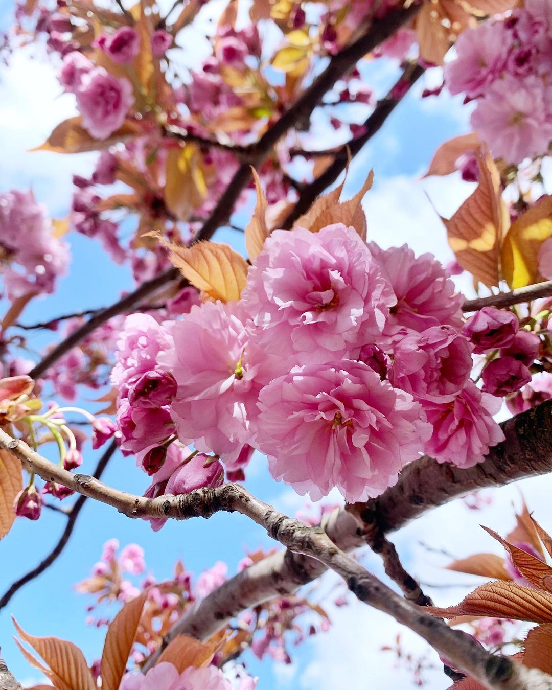 Pink cherry blossom tree in spring - London lifestyle blog