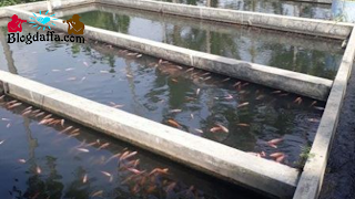 Menyiapkan Kolam Budidaya Ikan Mas