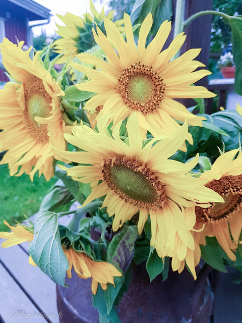 auringonkukka, valokuvaus, maitotonkka