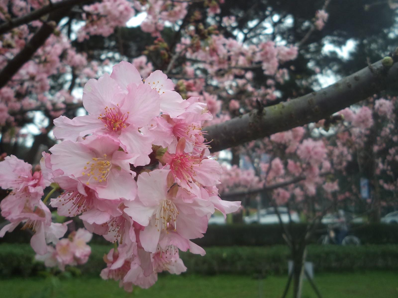 Menikmati Bunga Sakura Awal Musim Semi Di Taiwan