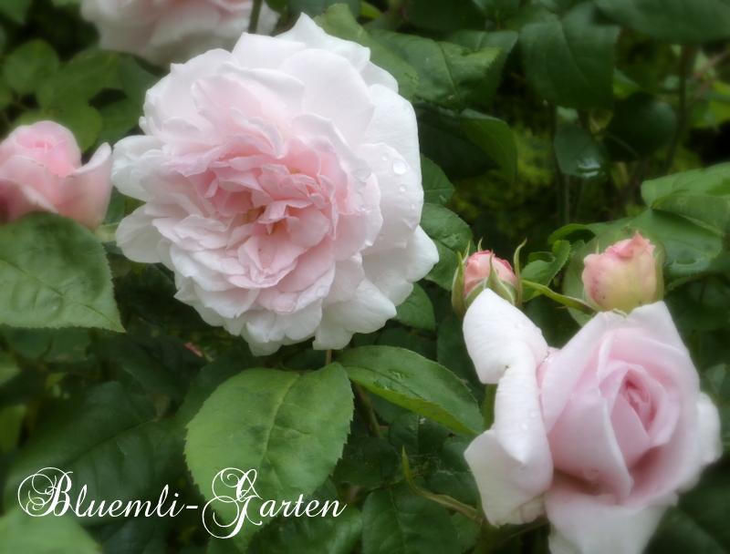 bluemli garten rosen seidenmohn vanille oleander. Black Bedroom Furniture Sets. Home Design Ideas