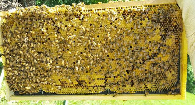 Κόβει πλυθησμό απο δυνατό μελίσσι με πανεύκολο τρόπο: Δείτε τι έκανε αυτός ο μελισσοκόμος
