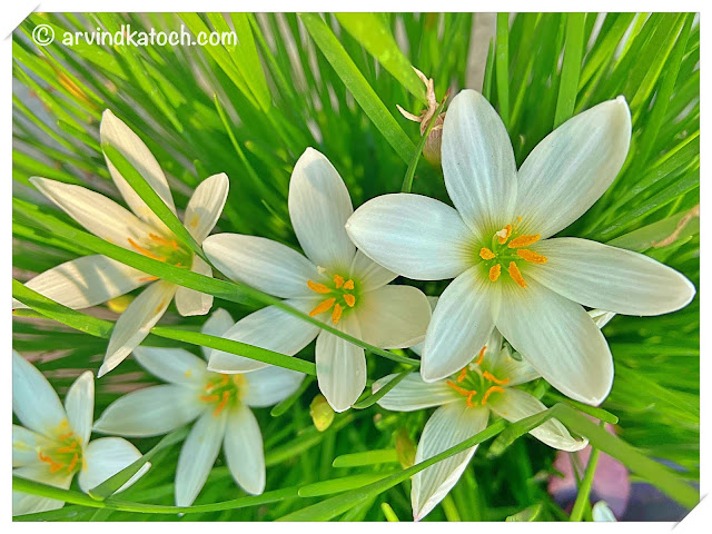 Beautiful White Grass Flowers (iphone photography)