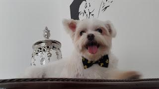 O Cachorro Joe de gravata