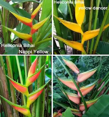 types of heliconia Heliconia bihai