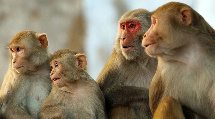 monkey%2Bin%2Bgajraula