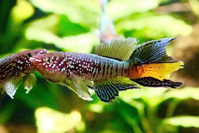 ikan killifish jenis blue gularis