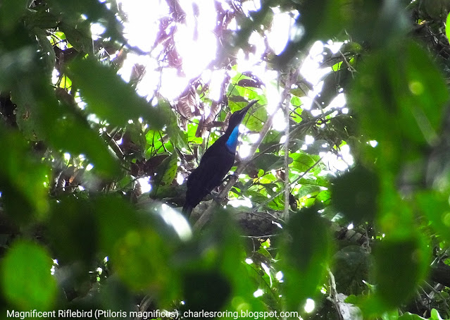 birding in the forest of West Papua, Indonesia