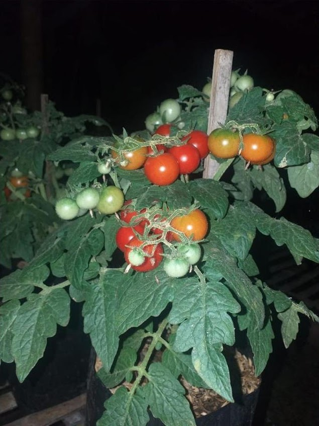 Paket Benih 40 Biji Tomat Mini 4 Jenis Jambi