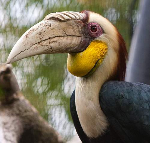 Indian birds - Picture of Wreathed hornbill - Rhyticeros undulatus