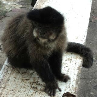 Macaco em Quiosque na Estrada, em Iraí