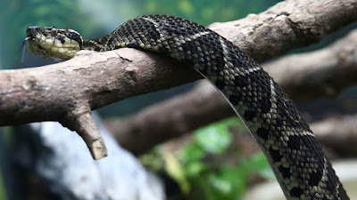 Venom from one of Brazil's largest snakes could be used as a tool in the fight against coronavirus
