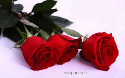 very beautiful rose new hd pics   wallpaper roses wallpaper