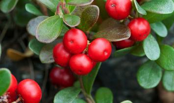 Memutihkan Kulit Dengan Bearberry
