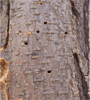 Image of D-shaped emergence holes on a tree trunk caused by Agrilus difficilis