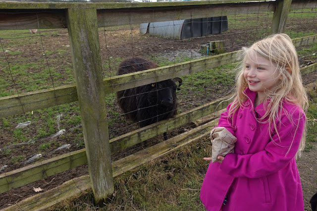 Feeding a black sheep at Lee Valley Park Farms