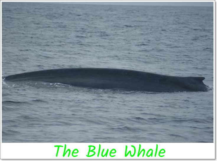 The-Blue-whale-is-the-largest-animal-of- all-time