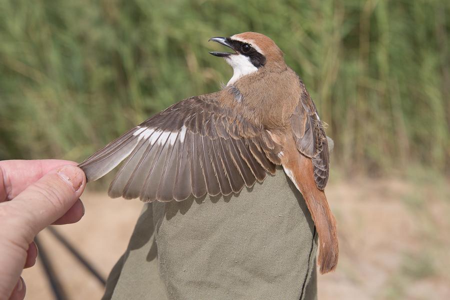 Turkestan Shrike - male