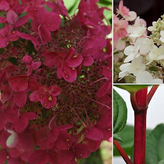 Hydrangea paniculata 'Wims Red'