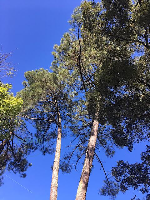 photo de pins dans les landes sous un ciel bleu