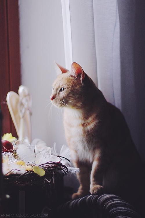 kot, koty, rudy kot, rude koty, fotografia kotów, fotograf łomianki