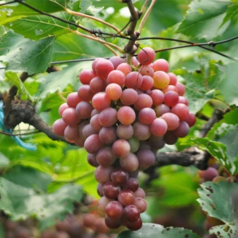 Bibit Tanaman Buah Anggur Red Prince Sulawesi Utara