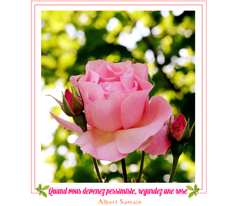Rose, feuillage