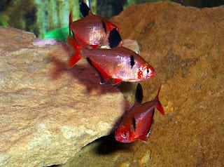 Ikan Aquascape Terindah Serpae