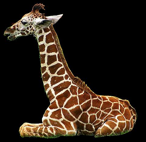 tube de jirafa acostada