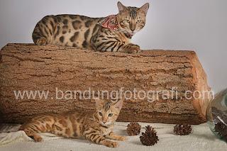 agira cathouse, pet photography, bandung fotografi, fotografi bandung, jasa foto di bandung, fotografer bandung, jasa foto kucing di bandung
