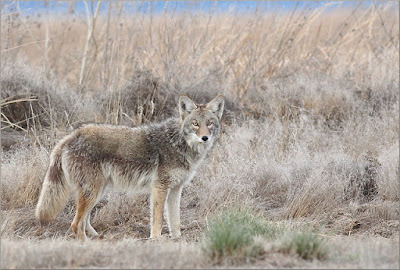 Many people consider coyotes pests. That is often true, but they are also being troublesome to evolutionists as well.