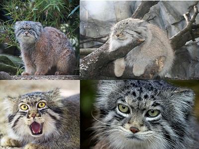 Pallas Kedisi Özellikleri Hakkında Bilgi