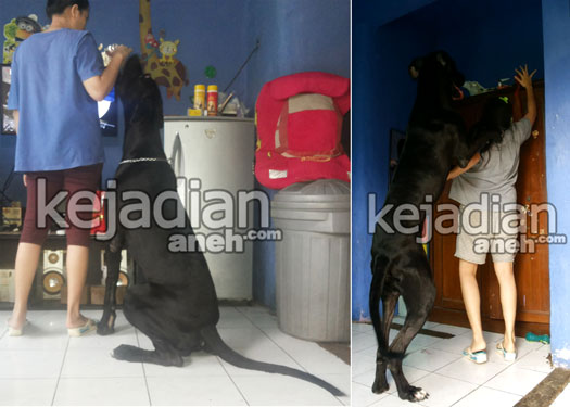 anjing raksasa di indonesia