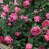 la passion des rosiers la p pini re fil roses d placer transplanter un rosier quand et. Black Bedroom Furniture Sets. Home Design Ideas