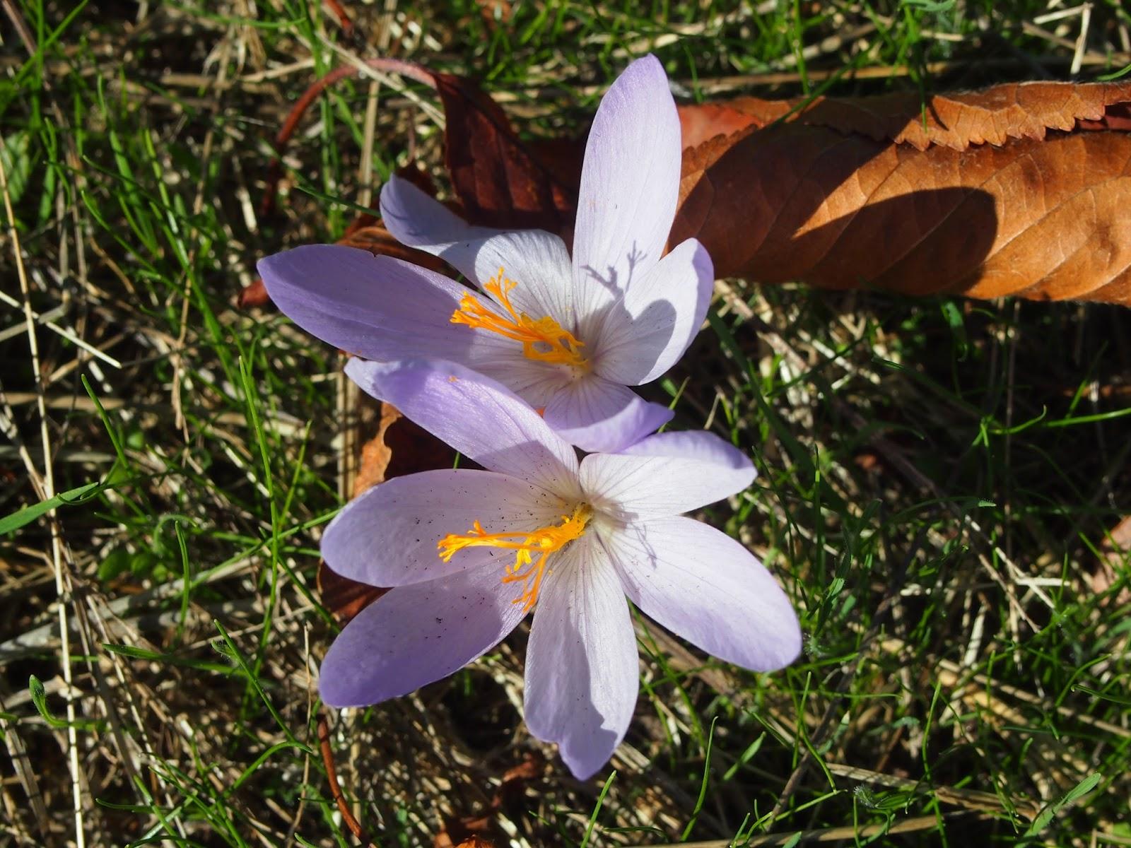 flor de azafran en Campo de Braña