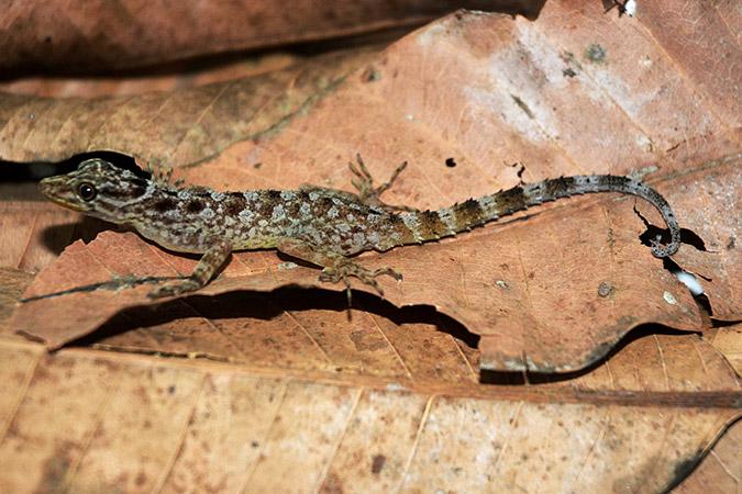 Dlium.com Muria gecko (Cnemaspis muria)
