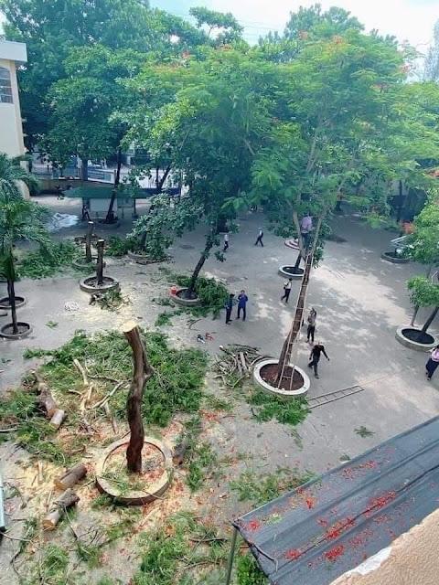 Chặt hạ tất cả cây xanh ở sân trường là việc làm ngu dốt, phá hoại