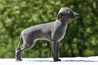 http://www.italiangreyhound.eu/2019/04/girl-1.html