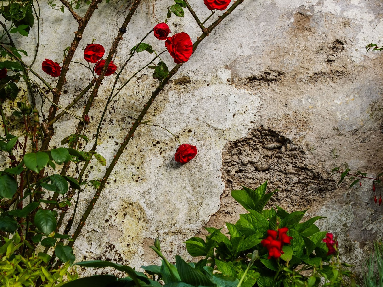 Old patina wall with a red rose bush.