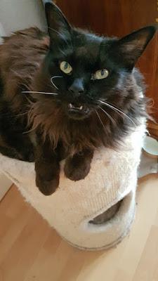 black maine coon cat, devil