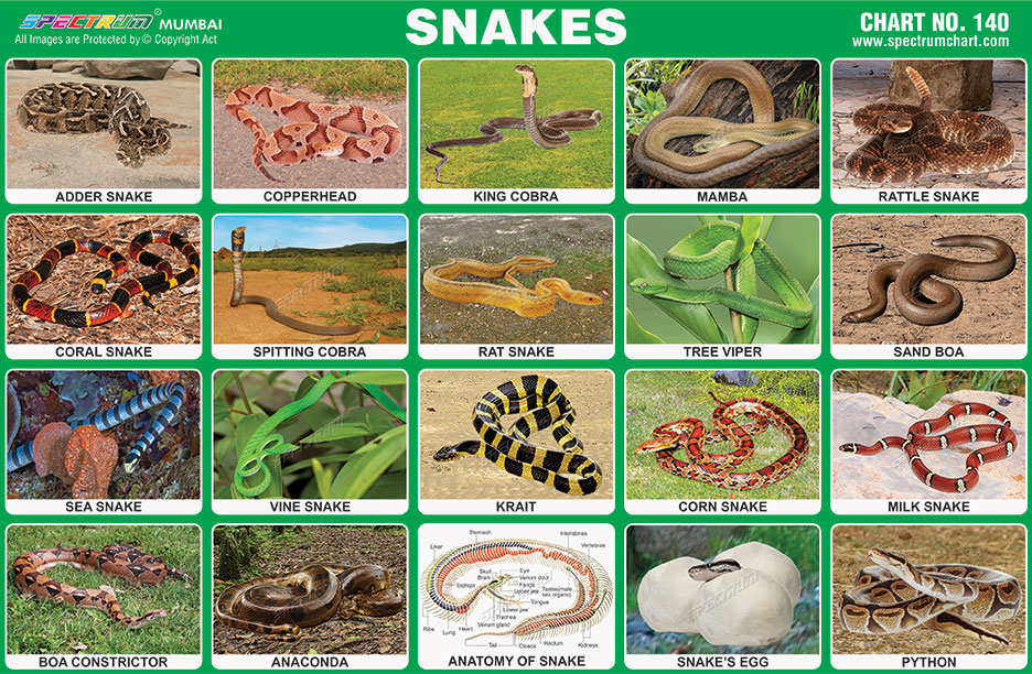 Spectrum Educational Charts: Chart 140 – Snakes