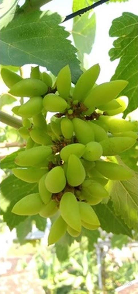 bibit anggur impor banana valid Aceh