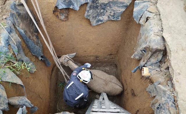 Jumenta prenha é resgatada após cair em fossa de quatro metros